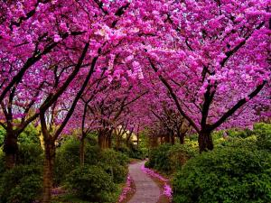 path through pink trees